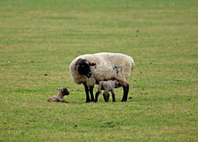Sheep and newborn lambs. Female sheep with newborn twin lambs, one suckling stock photo