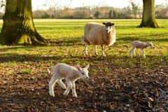 Sheep and Newborn Lambs Stock Photo
