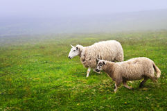 Sheep in Newfoundland. Two sheep walking in foggy field of Newfoundland, Canada Stock Photos