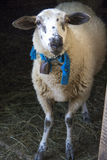 The sheep Stock Photography