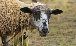 Sheep Royalty Free Stock Photography