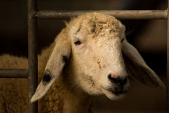 Sheep non-free in amphawa. Thailand Royalty Free Stock Photography