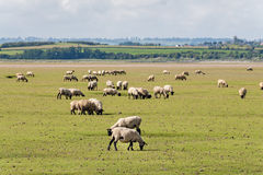 Sheep in Normandy Stock Photography