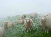 Sheep on a North Sea shore in a snow storm. Husum, Germany Royalty Free Stock Photos