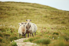 Sheep in Norway. Sheep on the island of Runde in Norway Royalty Free Stock Image
