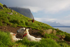 Sheep in Norway Royalty Free Stock Photography