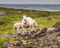 Sheep of Norway. Sheep on the coast line of Norway Stock Image