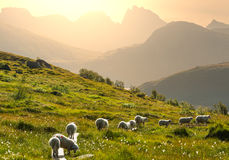 Sheep in Norway Stock Images