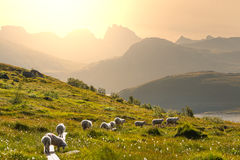 Sheep in Norway Stock Image