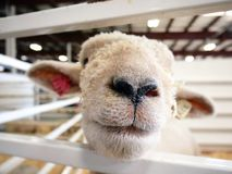 Sheep nose close up Royalty Free Stock Photography