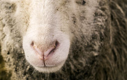 Sheep Nose Royalty Free Stock Photography