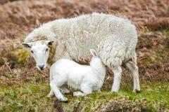 Sheep nursing lamb. Mother sheep nursing lamb in farm field Stock Image