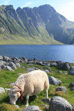 Sheep Of Eggum Stock Images