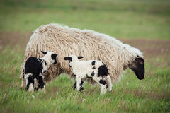 Sheep with offspring Royalty Free Stock Images