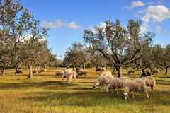 Sheep in olive tree field Royalty Free Stock Image