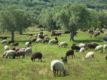 Sheep in an olive tree field Royalty Free Stock Photo