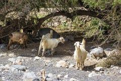 Sheep Oman Royalty Free Stock Photography