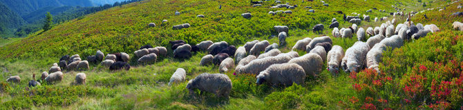 Free Sheep On A Mountain Pasture Stock Photo - 87827470