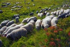 Free Sheep On A Mountain Pasture Stock Photos - 87827543