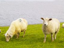 Free Sheep On Dike Royalty Free Stock Images - 11063579