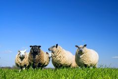 Sheep On Grass Stock Photography