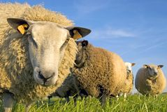 Sheep On Grass With Blue Sky Stock Photography