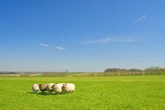 Sheep On Grass With Blue Sky Royalty Free Stock Photo