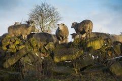 Sheep On Rocks Stock Photo