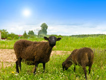 Free Sheep On The Landscape Royalty Free Stock Photo - 9721475