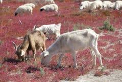 Sheep On The Prairie Stock Photo