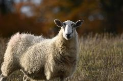 Sheep. One of the sheep in a field in Autumn on a farm in the UK royalty free stock image