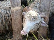 Sheep, melancholic chewing grass royalty free stock photo