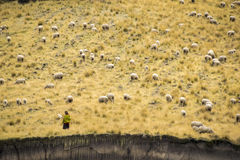 Sheep in open land Royalty Free Stock Photos