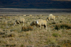 Sheep Open Range 2 Royalty Free Stock Photos
