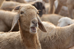Sheep with Opened Mouth Royalty Free Stock Image