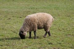 Sheep Or Lamb Grazing Stock Image