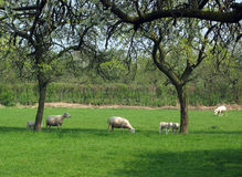Sheep in orchard. Sheep and lambs in blossoming prune orchard royalty free stock images