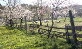 Sheep orchard  Royalty Free Stock Photos