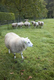 Sheep in an orchard in the netherlands near utrecht Royalty Free Stock Image