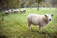 Sheep in an orchard in the netherlands near utrecht Royalty Free Stock Photos