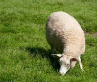 Sheep out on pasturage. An Uncut female white Sheep out on pasturage, juicy green grass in the summertime Stock Photography