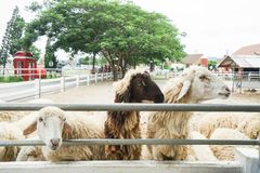 Sheep in outdoor farm waiting for feeding. Cute sheep in outdoor farm waiting for feeding Stock Photo