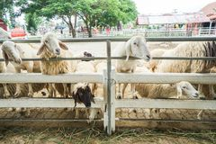 Sheep in outdoor farm waiting for feeding. With grass Royalty Free Stock Photo