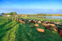 Sheep. Stock Photo