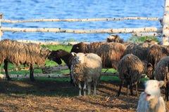 Sheep. Royalty Free Stock Image