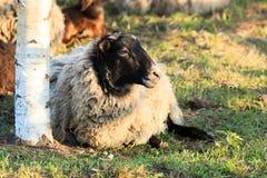 Sheep. Stock Photos