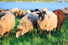 Sheep. Royalty Free Stock Photo