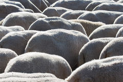 Sheep - Ovejas Stock Photography