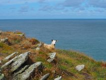 Sheep Overlooking the Bristol Channel royalty free stock photo