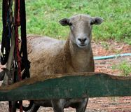 Sheep (Ovis aries) Stock Photography